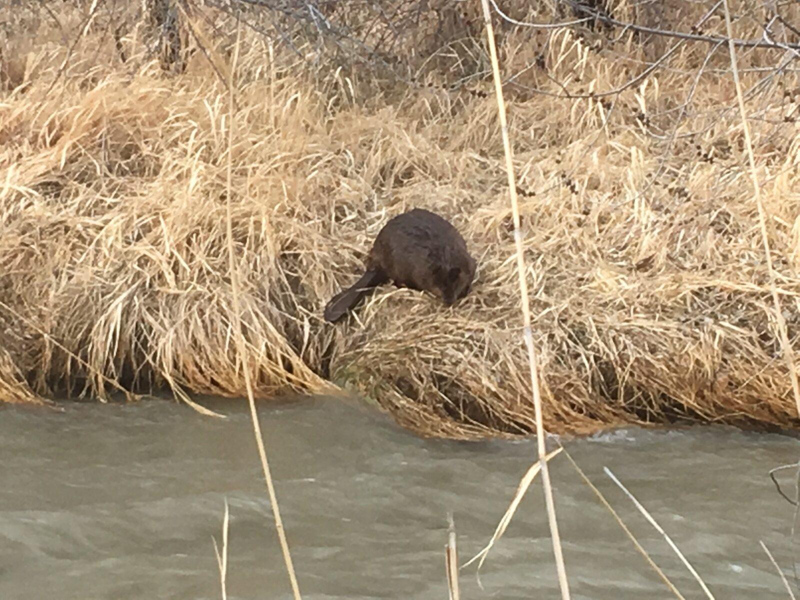 That Pesky Beaver
